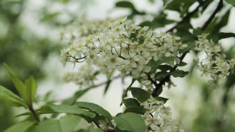 Lilac.Beautiful nature. Nature. Branches of blooming lilac on a background of Live Action