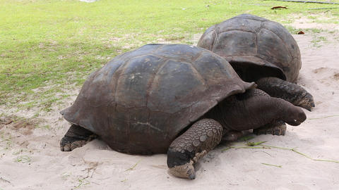 Giant tortoises at Curieuse Island, Seychelles Live Action