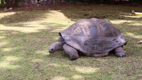 Giant tortoise eating grass at Curieuse Island, Seychelles Live Action