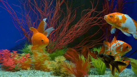 Slow Motion Of Goldfish Swimming In Aquarium Footage