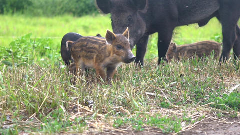 wild boars in the forest Live Action