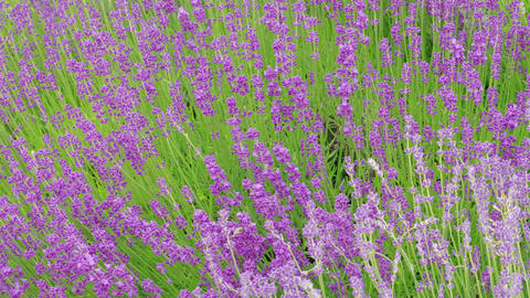 Growing blooming lavender flowers, flowering at summer day Live Action