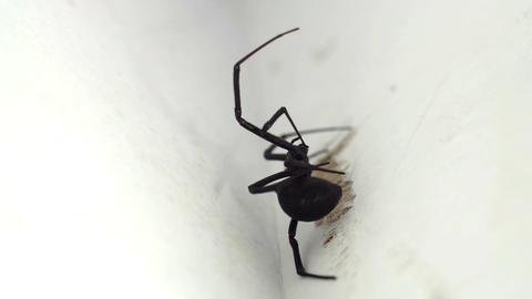 Black Widow Spider Macro Footage