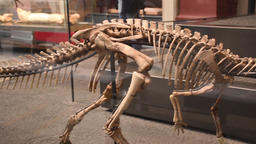 compsognatus skeleton in Berlin natural history museum (Museum fur Naturkunde) Live Action