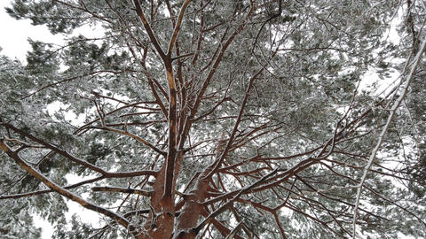 Snow falling with hoarfrost tree in winter season, low angle view Live Action