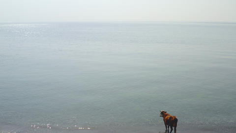 Aerial from shore to vast blue sea. Calm sunny summer day. In water near shore grazing cow. Herd Live Action