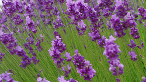 Closeup of growing blooming lavender on wind, medicinal herb Live Action