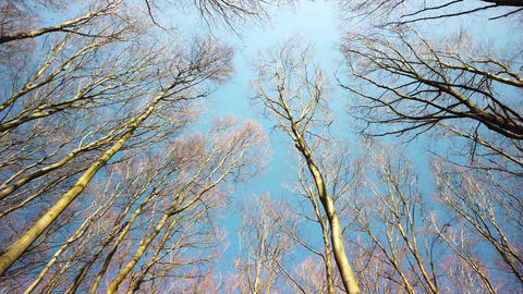 Bottom view in the forest. Trees seen from bottom to top on a spring day Live Action