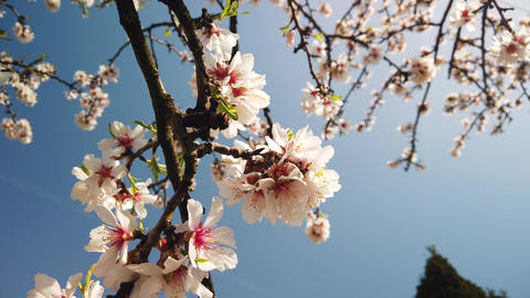 almond tree close-up, flowering fruit trees Live Action