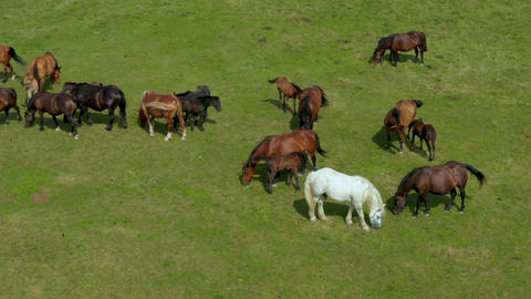 Horses grazing on pasture, aerial view of green landscape with a herd of brown Live Action