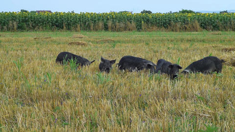 Black pigs grazing in the field mangulica passing through shot Live Action
