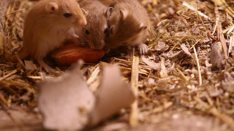 Rats eating a carrot Footage