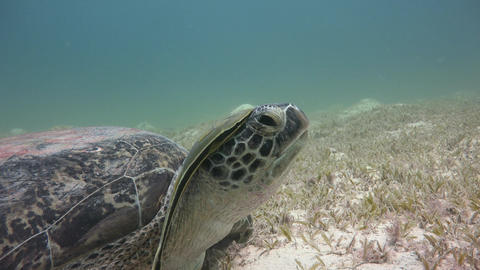 Large green turtle grazing on the seabed. Diving in the Red sea near Egypt Footage
