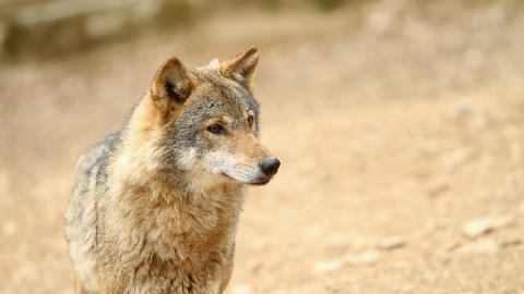 Wolf looking at something Footage