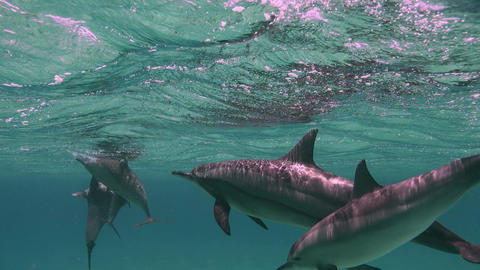 Dolphins mating season. Reef Sataya.. Diving in the Red sea near Egypt Footage