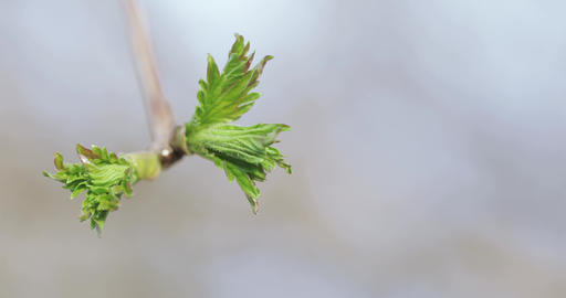 Buds of apple trees in spring Footage