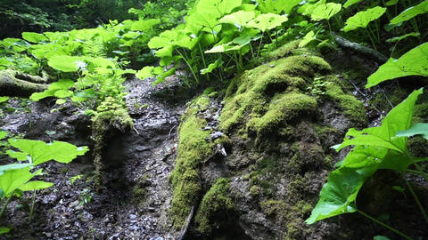 Wet moss on stones and thickets of burdocks in the tropical forest Footage
