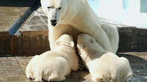 Female Polar Bear Feeding Her Cubs Footage