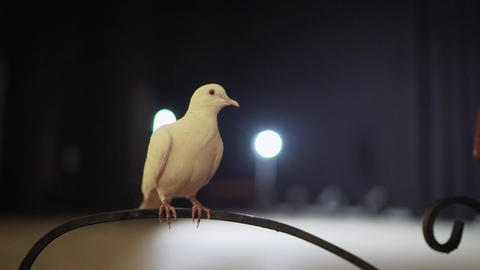 Trained white dove sitting on a magician's stick. Circus White Pigeon Live Action