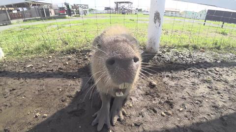 Kanagawa,Japan-July 10, 2019: Closeup of capybara face Footage