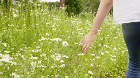 Child girl walks through the meadow and touching chamomiles, hands closeup Footage