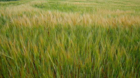 Wheat field. Golden ears of wheat on the field. The wind swings the harvest of Footage