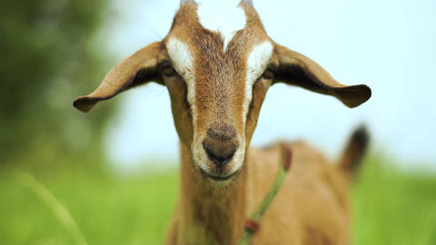 Cheery young nanny goat with pretty eyes looking forward in a pasture in slo-mo Live Action