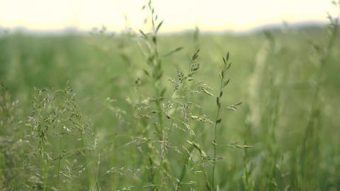 Inspiring green agricultural field with high green beads in summer in slo-mo Live Action
