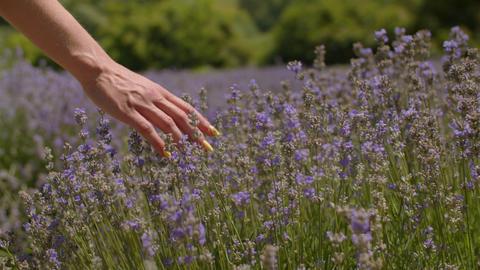 Hand touching purple flowers in lavender field Footage