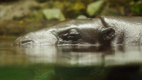 Hippopotamus stock footage