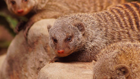 Mongoose Stock Video Footage