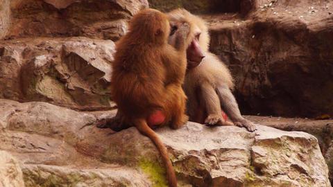 Monkeys Stock Video Footage