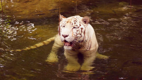 White tiger Footage