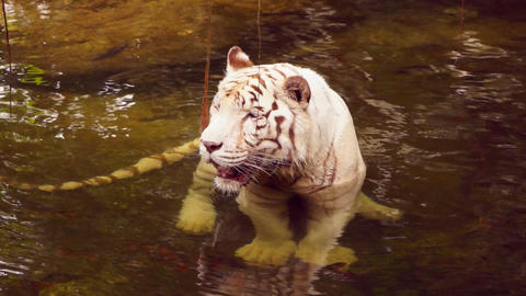 White tiger Stock Video Footage