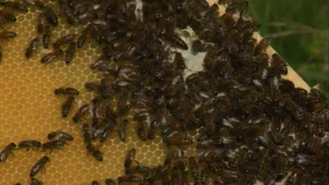 Bees in the hive 5 Stock Video Footage