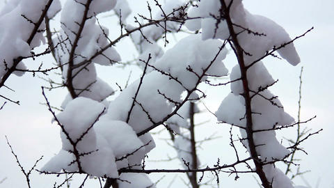Snow on the branches 5 Footage