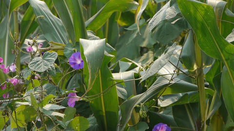 lush corn leaves & morning glory in agriculture... Stock Video Footage