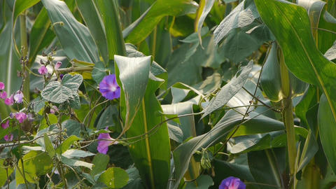 lush corn leaves & morning glory in agriculture farmland in rural areas Footage