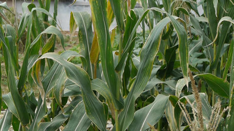 lush corn leaves in agriculture farmland in rural areas Stock Video Footage