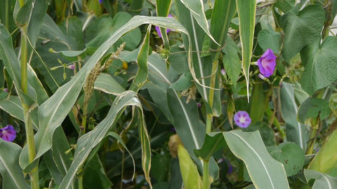 morning glory in lush corn leaves in rural areas Stock Video Footage