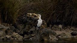 Australian Cormorant / Darter Drying Itself on a River Bank Stock Video Footage