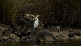 Australian Cormorant / Darter Drying Itself on a River Bank Footage