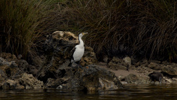 Australian Cormorant / Darter Drying Itself on a River Bank Stock Video Footage