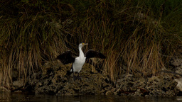 Australian Cormorant / Darter Bird Drying It's Wings Stock Video Footage