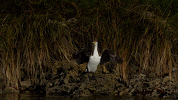 Australian Cormorant / Darter Bird Drying It's Wings Stock Video Footage