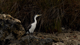Australian Cormorant / Darter Perched on a River Bank Stock Video Footage