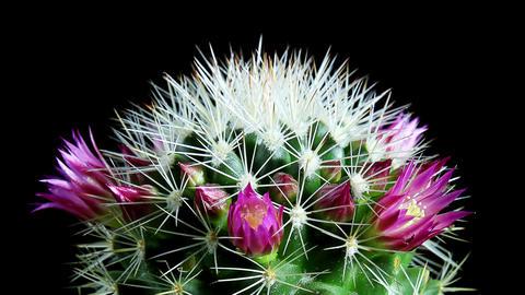 Time-lapse Opening pink Mammillaria (Mammillaria bocasana) Stock Video Footage