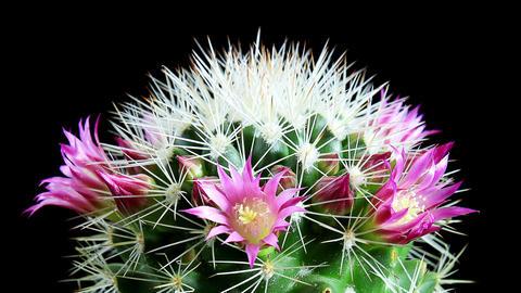 Time-lapse Opening pink Mammillaria (Mammillaria bocasana) Footage