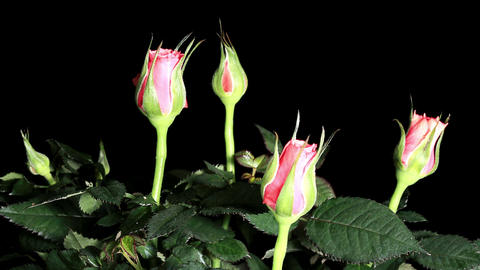 Blooming pink roses on the black background, timelapse Stock Video Footage
