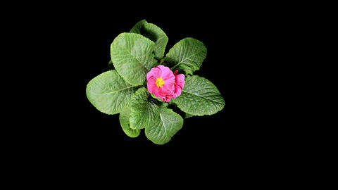 Flowering pink primula on the black background (Primula... Stock Video Footage